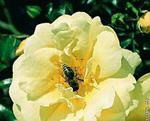 KORDES Sunny Rose (acoperitor de sol)