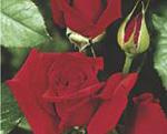 THEA HYBRIDA Aida (floare mare)