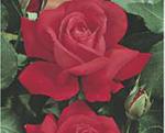 THEA HYBRIDA -Dame de Coeur (floare mare)