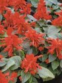Salvia splendes - salvia -