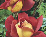 THEA HYBRIDA -Kronenbourg (floare mare)