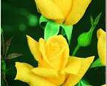 THEA HYBRIDA - Buccaneer (floare mare)