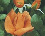 THEA HYBRIDA - soiul Beaute (floare mare)