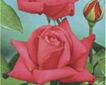 THEA HYBRIDA soiul Bel Ange (floare mare)
