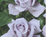 THEA HYBRIDA soiul Sterling (floare mare)