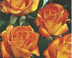 POLYANTHA soiul Animo (mai multe flori in buchet)