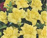 POLYANTHA soiul Golden Delight (mai multe flori in buchet)