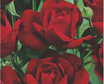 POLYANTHA soiul Nina Weibull (mai multe flori in buchet)