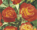 POLYANTHA soiul Rumba (mai multe flori in buchet)