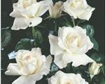 POLYANTHA soiul White (mai multe flori in buchet)