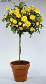 MEILLAND (floare mare) Marcel Pagnol