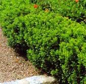 Buxus sempervirens - buxus -
