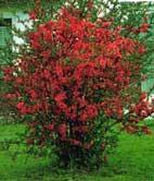 Chaenomeles japonica - gutui ornamental japonez -