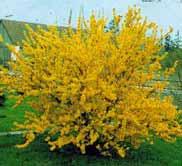 Forsythia x intermedia - forsitie -