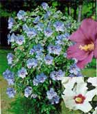 Hibiscus syriacus - zamosita, ibisc-
