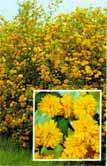 Kerria japonica - keria -