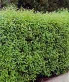 Ligustrum ovalifolium - lemn cainesc, malin negru-