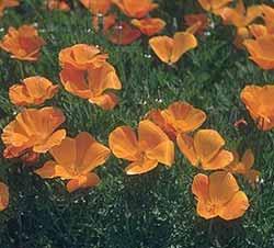 Eschscholtzia californica - mac californian -
