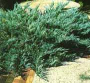 Juniperus sabina nana