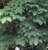 Acer platanoides - artar -
