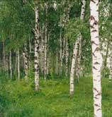 Betula pendula - mesteacan -