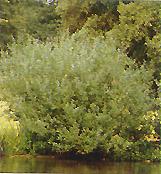 Salix gracilis - salcie -