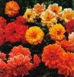 Dahlia variabilis - dalia -