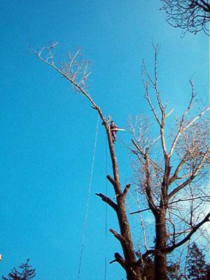 Taieri arbori inalti. Poza 304
