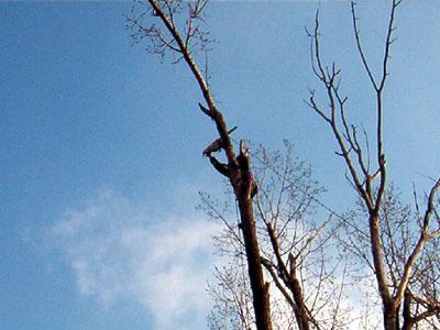 Taieri arbori inalti. Poza 305
