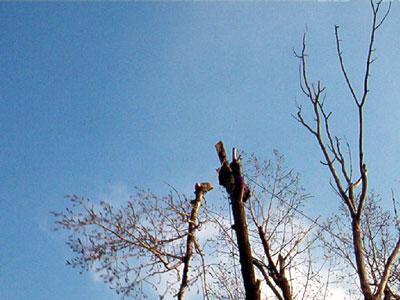 Taieri arbori inalti. Poza 306
