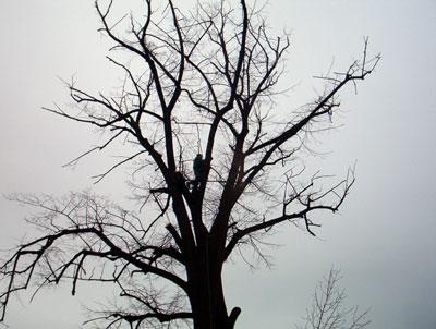 Taieri arbori inalti. Poza 307