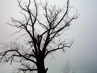 Taieri arbori inalti. Poza 308