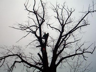 Taieri arbori inalti. Poza 309