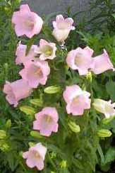 Campanula medium - clopotei -