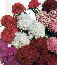 Dianthus barbatus - garoafa turceasca-