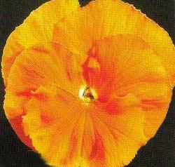 Viola wittrockiana - panselute -
