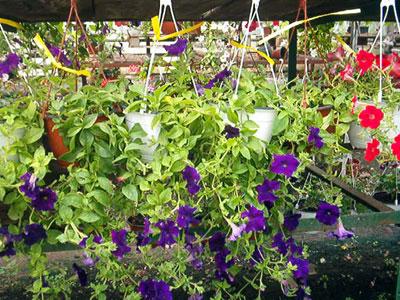 Productie flori. Poza 382
