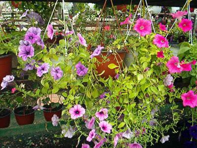 Productie flori. Poza 383