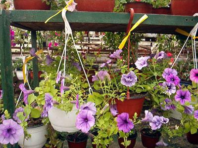 Productie flori. Poza 384