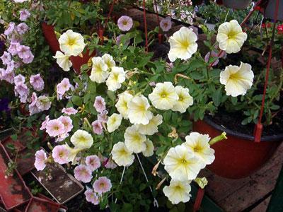 Productie flori. Poza 385