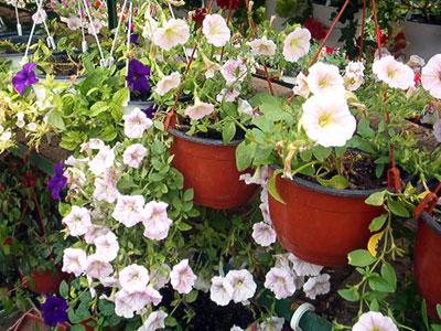 Productie flori. Poza 386