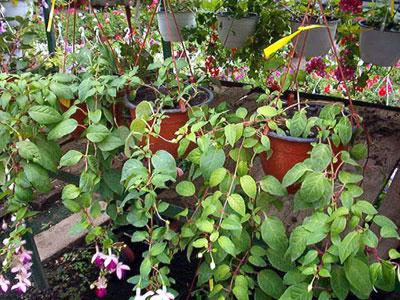 Productie flori. Poza 388