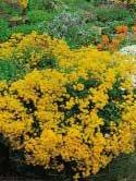 Alyssum saxantile - alisum, ciucusoara-