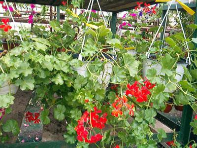 Productie flori. Poza 393