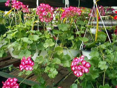 Productie flori. Poza 394