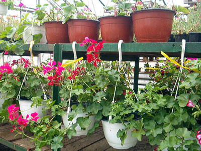Productie flori. Poza 395