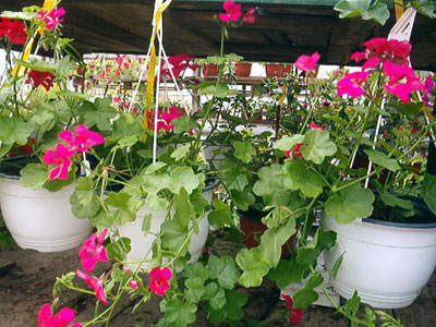 Productie flori. Poza 396