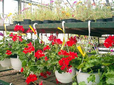 Productie flori. Poza 397