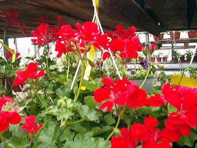 Productie flori. Poza 398
