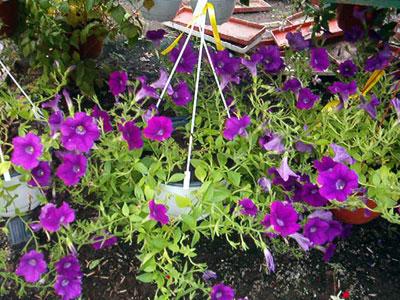Productie flori. Poza 399